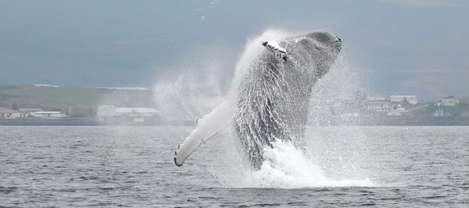 Whale Watching & Sea Angling – North Iceland